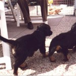 Houwaert's Darouch-Itto à 6 semaines  avec son meilleur ami notre teckel Archibald