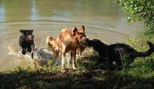 Leus Altiers chiens dans l'eau