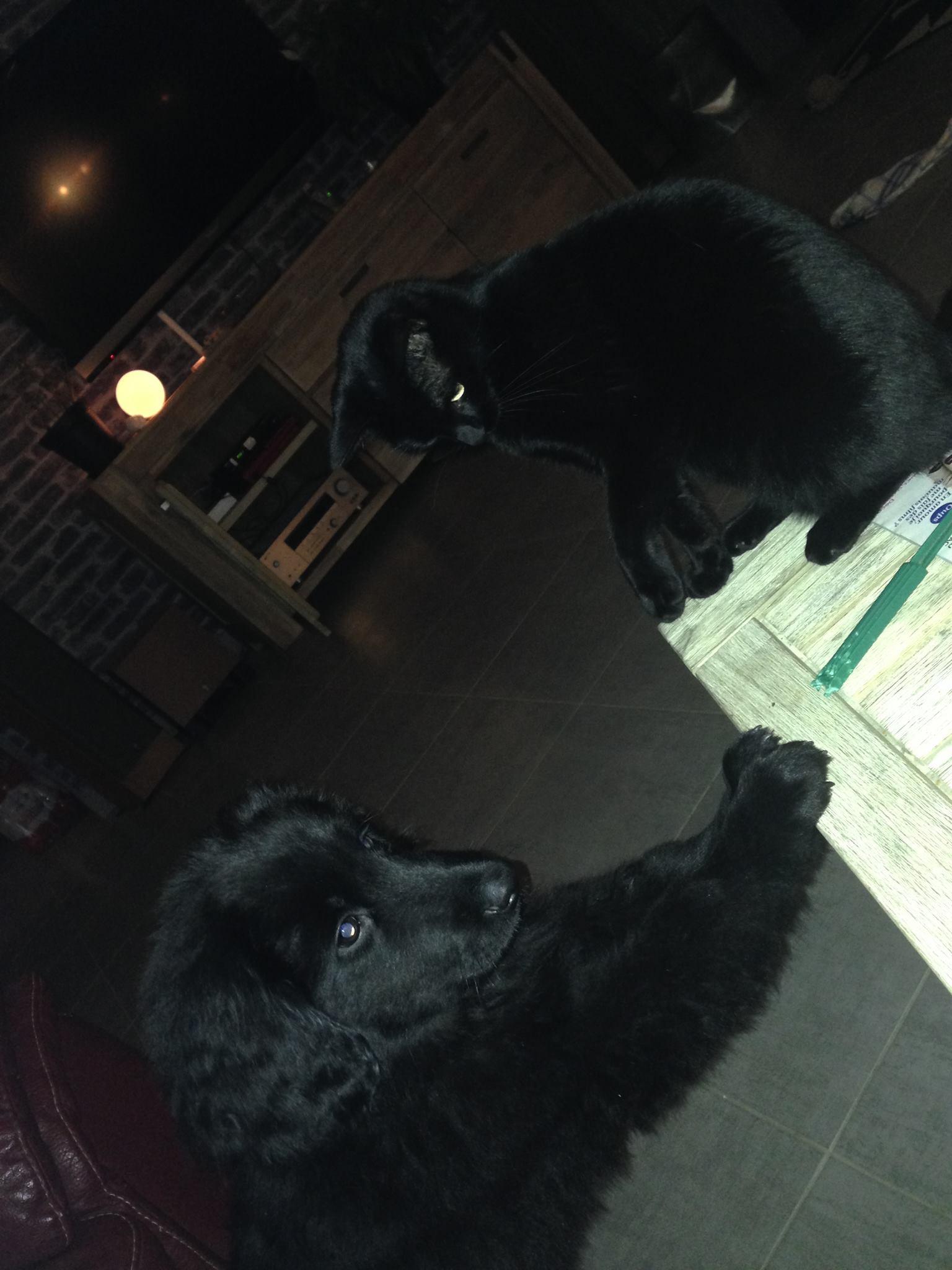 Jeskko des Leus Altiers et le chat 2014-11-07
