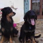 Jinfizz des Leus Altiers et Bohem Fabien de Jye, 2011-11-02 4