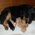 hovawart chien dog élevage breeder chiots France Beaussac Aquitaine travail champion