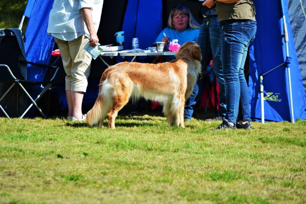 Izzi Norsk Hovawartutställning 20150829 Photograp, Anne Marte Lundteigen. Norwegian Hovawart dogshow 2015-08-29, judge; Sabine Jacobs. Result, excellent.