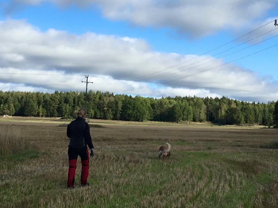 Izzi, Rytterne 20150929..1 Izzi traking in the fields. 2015-09-29