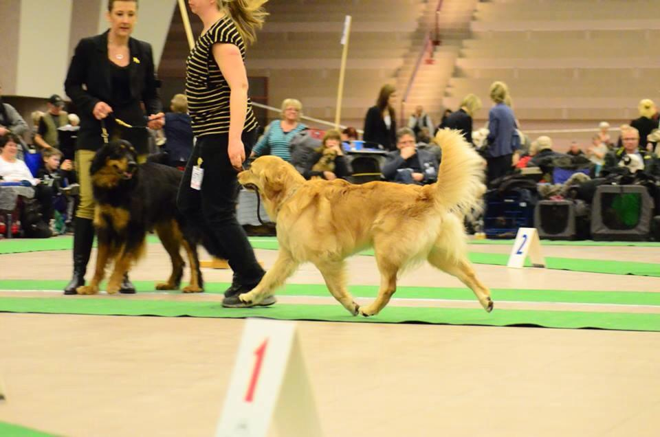Izzi, Strängnäsutställning1 20150313 Swedish kennelclub dogshow in Strangnas 2015-03-13. Judge; Carl Gunnar Stafberg. Result, Excellent, best bitch in open class