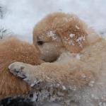 chiots_neige_05_thumb