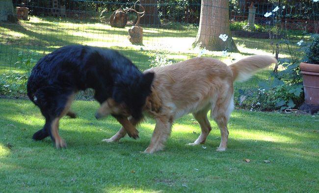 Shakti et Uma des Leus Altiers 2003-09-14 10-tn