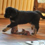 Merlin des Leus Altiers 2012-12-05 1
