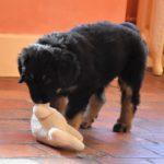 Merlin des Leus Altiers 2012-12-05 2