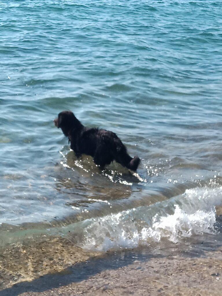 Alors après avoir étudié tout ce nouvel entourage iode, je me lance, mais j'avoue que ma maîtresse est dans l'eau devant moi ... et elle tient un kong rempli de Vache-qui-rit! Alors je vais me baigner, et nager, sans même m'en rendre compte! La peur de l'eau n'est plus. Je vais nager tous les matins de bonne heure, tranquille et ça fait du bien. Mais à petite dose, attention à ma croissance!