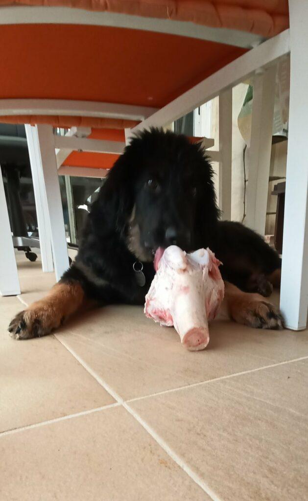 Pour mes 4 mois j'ai reçu un gros os de veau!