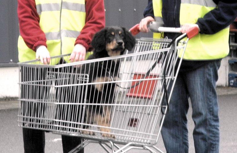Iggy des Leus Altiers supermarche mai 2013_tn